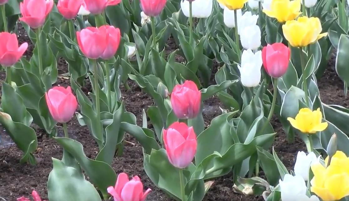 Z cyklu Portrety kwiatów – Tulipany
