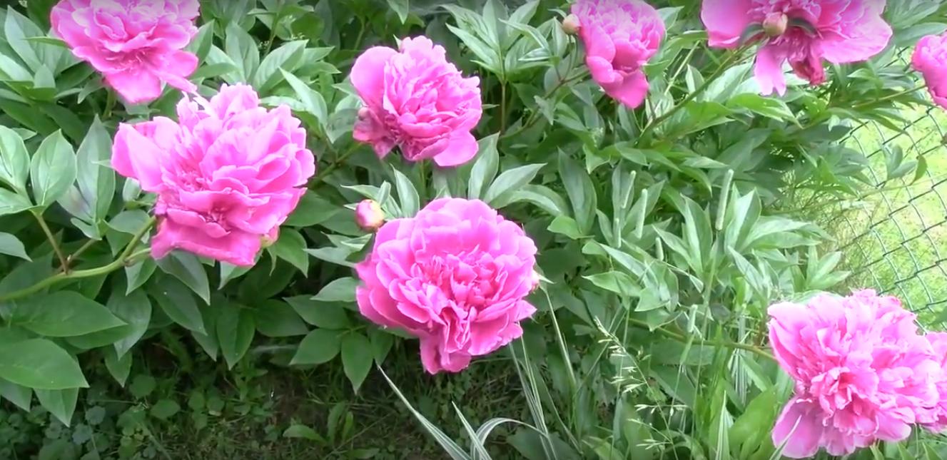 Piwonie – z cyklu Pełne humoru portrety kwiatów